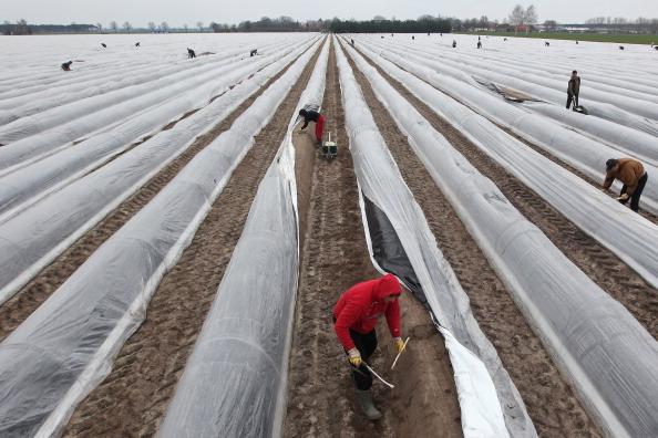 Asparagus「Asparagus Harvest Begins In Beelitz Region」:写真・画像(11)[壁紙.com]