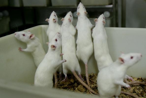 動物「Rats And Mice In A Medical School Laboratory」:写真・画像(7)[壁紙.com]