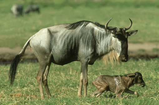 Antelope「wildebeest: connochaetes taurinus  giving birth  amboseli n. p., kenya」:スマホ壁紙(11)