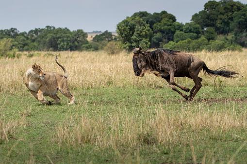 Lioness - Feline「Wildebeest Charging at Hunting Lioness, Masai Mara Game Reserve, Kenya」:スマホ壁紙(14)