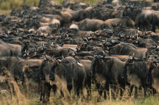 Antelope「Wildebeest herd (Connochaetes taurinus) standing together, Masai Mara, Kenya」:スマホ壁紙(19)