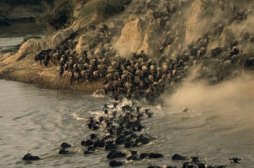 Walking「Wildebeest (Connochaetes taurinus) herd crossing Mara River」:スマホ壁紙(1)