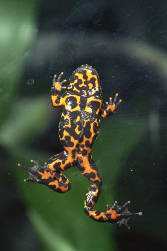 Warning Behavior「Fire-bellied toad」:スマホ壁紙(8)