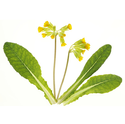 Blossom「Cowslip flowers with leaves in white square.」:スマホ壁紙(9)