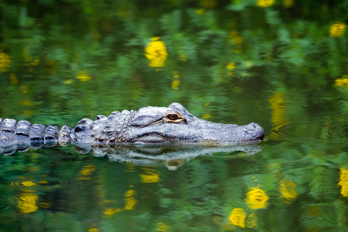 Swamp「American Alligator Swimming in Everglades」:スマホ壁紙(17)