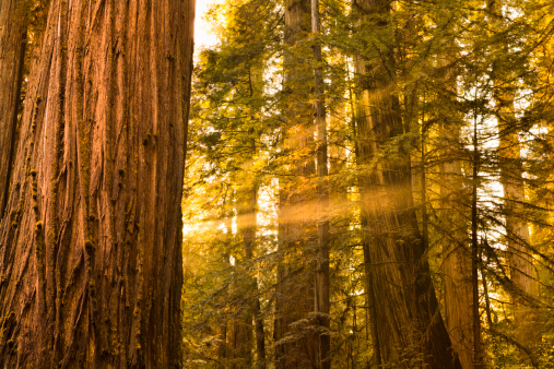 Sequoia Tree「Redwood trees in the forest」:スマホ壁紙(3)
