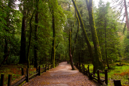 Redwood Forest「Redwood Trees Henry Cowell Sate Park」:スマホ壁紙(19)