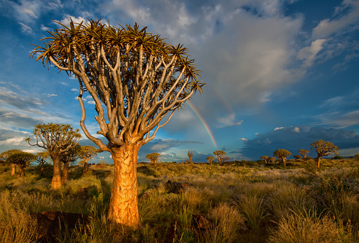 African Aloe「The Quiver Tree Forest with a rainbow at sunset shortly after a summer thunderstorm. Keetmanshoop, Namibia」:スマホ壁紙(9)
