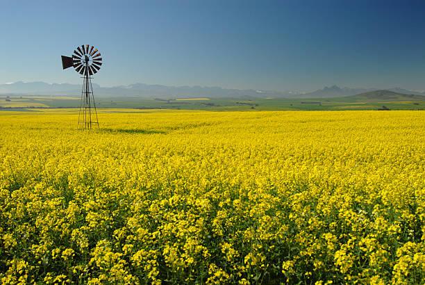 Windmill in Canola(Rape) field:スマホ壁紙(壁紙.com)