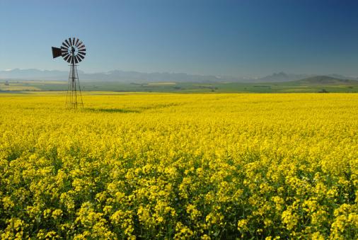 Canola「Windmill in Canola(Rape) field」:スマホ壁紙(7)