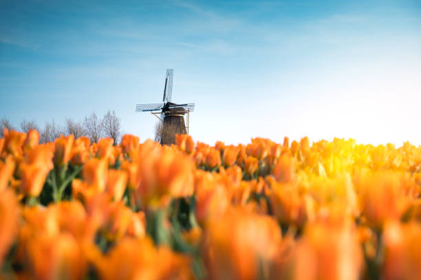 Windmill In Tulip Field:スマホ壁紙(壁紙.com)