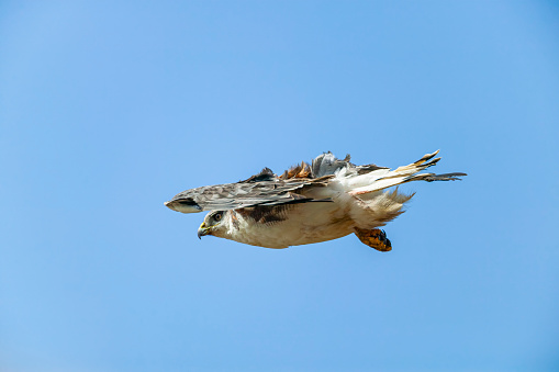 Falkland Islands「red-backed or variable hawk (Geranoaetus polyosoma)」:スマホ壁紙(3)