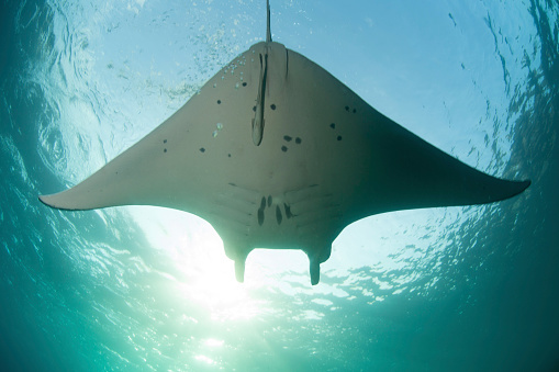 Remora Fish「A manta ray (Manta alfredi) swims into the sun in the tropical Pacific Ocean.」:スマホ壁紙(14)