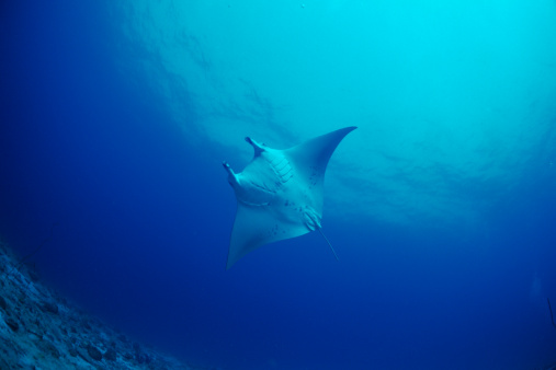 マンタ「A manta ray swimming underwater, Maldives」:スマホ壁紙(0)