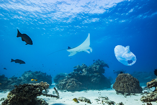 Manta「Manta ray swimming over coral reef atoll in clear blue ocean with plastic bag pollution」:スマホ壁紙(9)