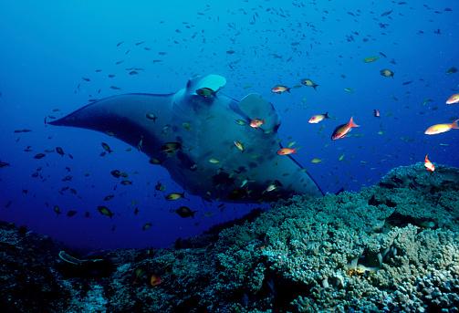 Manta「Manta Ray (Manta birostris) swimming with a school of fish, Mozambique」:スマホ壁紙(10)