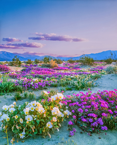 Public Park「Spring wildflowers Anza Borrego Desert State Park, California」:スマホ壁紙(14)