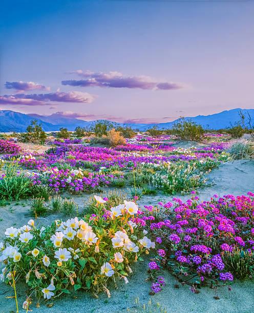 Spring wildflowers Anza Borrego Desert State Park, California:スマホ壁紙(壁紙.com)
