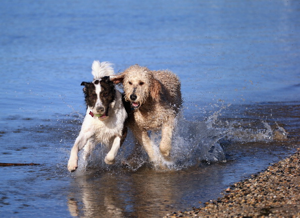 Water「Dogs at Play」:写真・画像(5)[壁紙.com]