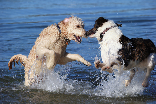 Playing「Dogs at Play」:写真・画像(10)[壁紙.com]