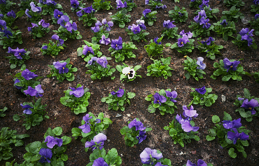Planting「One white pansy among many blue pansies」:スマホ壁紙(2)