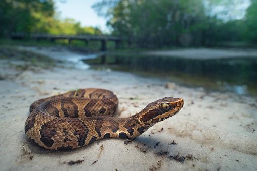 Sunbathing「Juvenile cottonmouth snake (Agkistrodon piscivorus), Florida, America, USA」:スマホ壁紙(18)