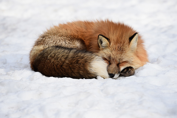 動物「Foxes in a Snow Field in Miyagi」:写真・画像(4)[壁紙.com]