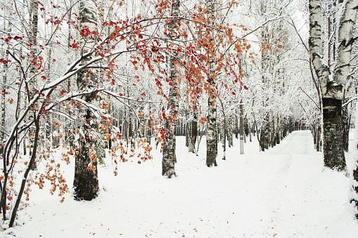 Birch Tree「Winter park」:スマホ壁紙(14)
