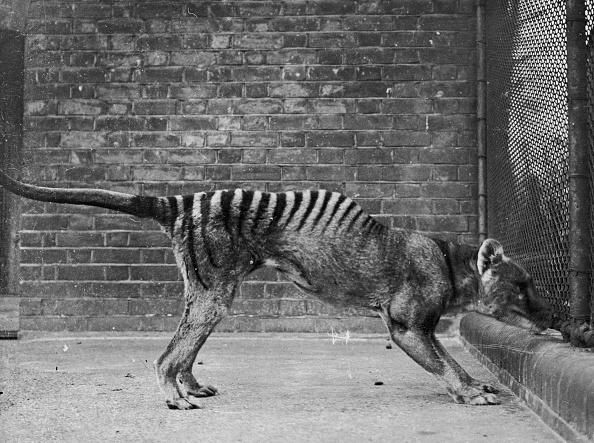 動物「Tasmanian Wolf」:写真・画像(2)[壁紙.com]
