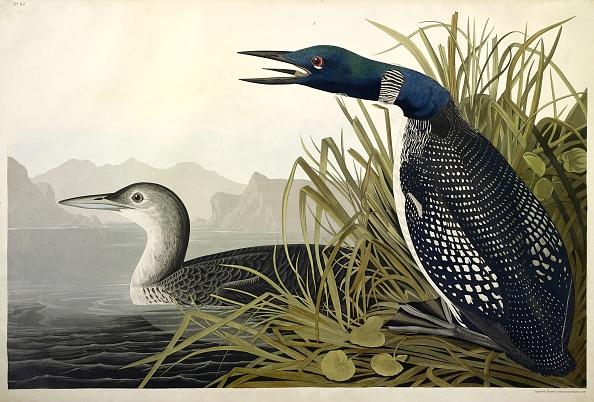 Beak「Great Northern Diver Or Loon」:写真・画像(10)[壁紙.com]