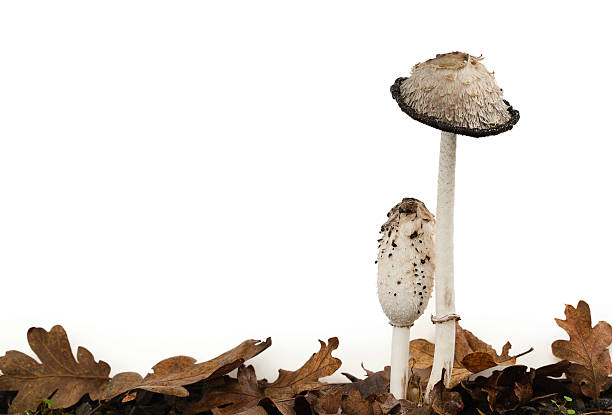 Ink Cap Mushrooms on White:スマホ壁紙(壁紙.com)