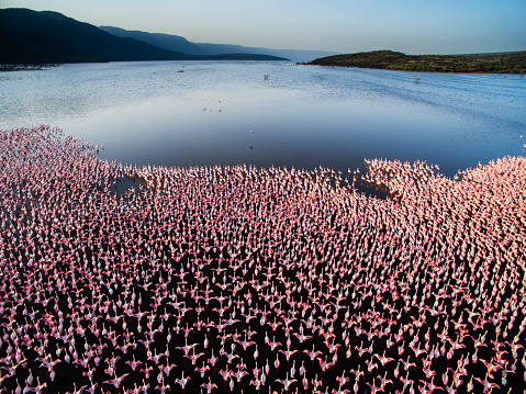 Flapping Wings「A large colony of lesser flamingos, aerial」:スマホ壁紙(17)