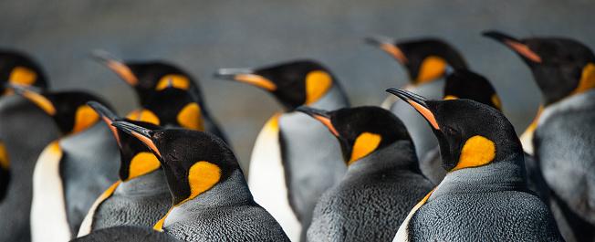 野生動物「大型のキングペンギンコロニー南ジョージア」:スマホ壁紙(14)