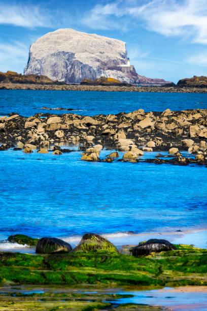 Bass Rock, Colony of gannets, North Berwick, Scotland,UK:スマホ壁紙(壁紙.com)