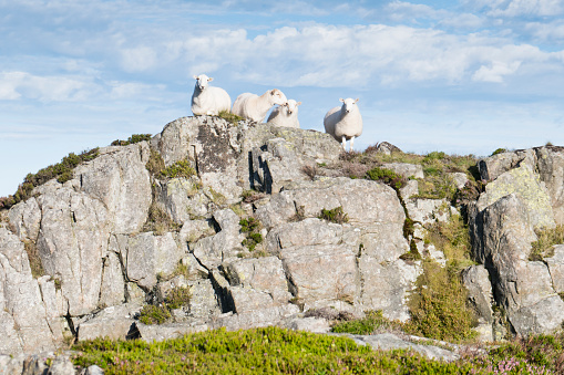 High Country「Group of four sheep on rock promontory;image taken from The Cambrian Way between the summit of Y Lethr, which is the highest point in the Rhinog mountains, and Cwm Bychan. August」:スマホ壁紙(17)