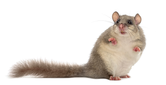 Belgium「Edible dormouse in front of a white background」:スマホ壁紙(2)