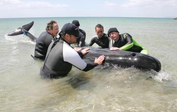 動物「Rescuers help save the only whale still alive that」:写真・画像(13)[壁紙.com]