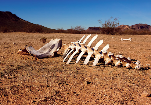 質感「Animal skeleton in the desert, Harquahala, Arizona, USA」:スマホ壁紙(4)