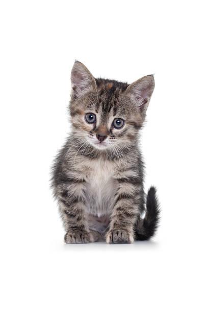 Kitten on White Background:スマホ壁紙(壁紙.com)