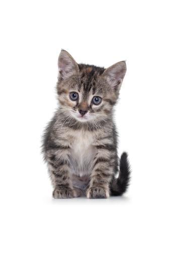 子猫「白い背景の上の猫」:スマホ壁紙(18)