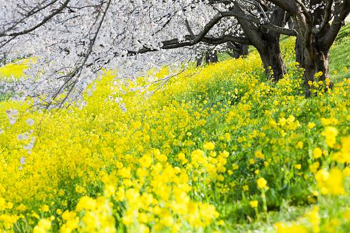 桜「朝の桜の木の下で菜種の花」:スマホ壁紙(10)