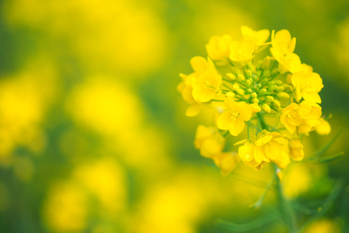 Oilseed Rape「Canola Flowers」:スマホ壁紙(3)