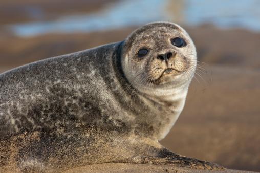 Sea Lion「Sea Lion (Otariidae)」:スマホ壁紙(6)