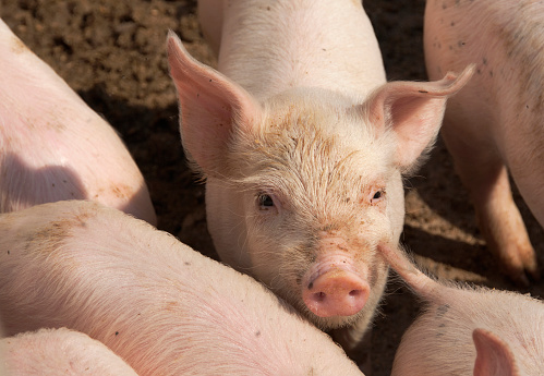 Medium Group Of Animals「Piglets on a farm near Manciano, Tuscany」:スマホ壁紙(19)