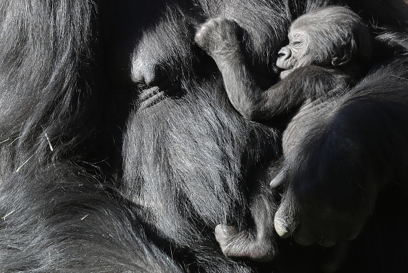 Gorilla「First Gorilla Born At Los Angeles Zoo In 20 Years Makes Her Debut」:写真・画像(18)[壁紙.com]