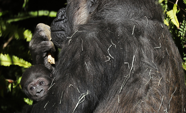 Gorilla「First Gorilla Born At Los Angeles Zoo In 20 Years Makes Her Debut」:写真・画像(16)[壁紙.com]