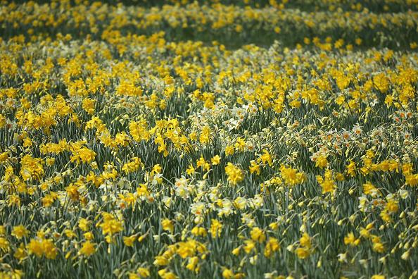 スイセン「Daffodil Walk Opens For Charity」:写真・画像(14)[壁紙.com]