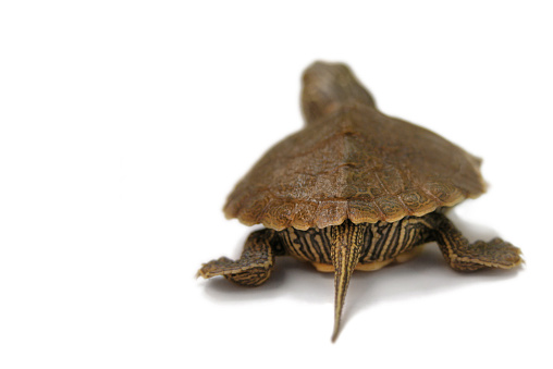 Lost「Baby Painted Turtle Walking Away on a White Background」:スマホ壁紙(3)