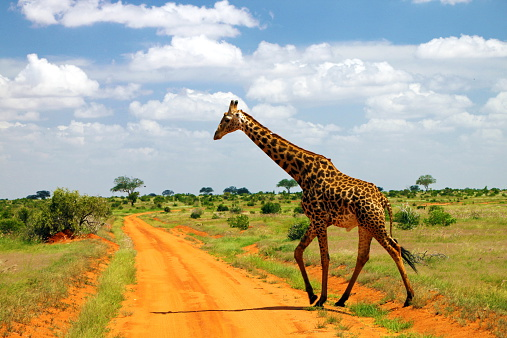Giraffe「Kenya, Tsavo East, Giraffe walking across dirt road in savannah」:スマホ壁紙(10)