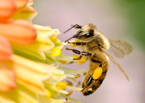 Animal Wing「Macro Flying Honey Bee (Apis mellifera) Landing on Yellow Flowers」:スマホ壁紙(19)